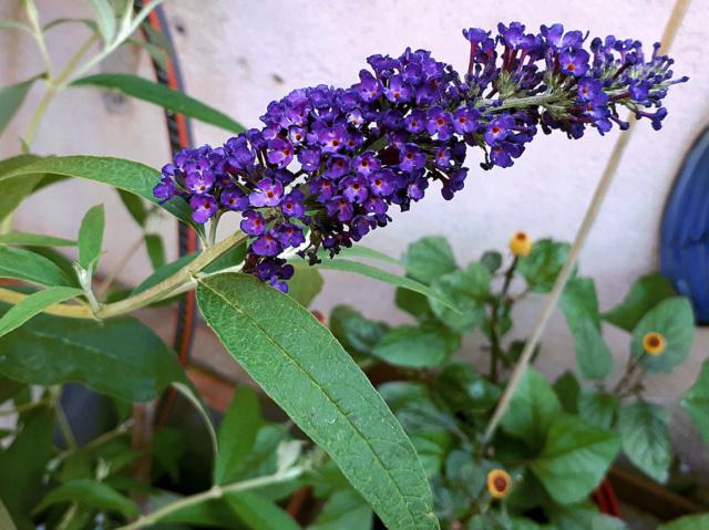 Buddleja alternifolia !!! Arbre_11