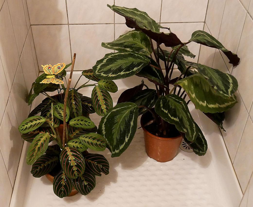 Douche à mes plantes Marantas Bain_z10