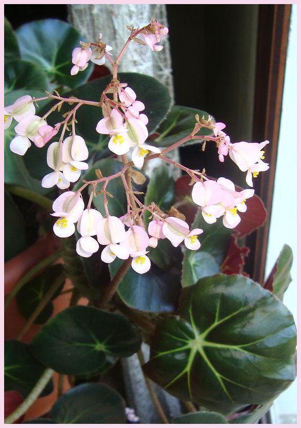 Mes fleurs de mon petit Jardin  - Page 2 Bzogon11