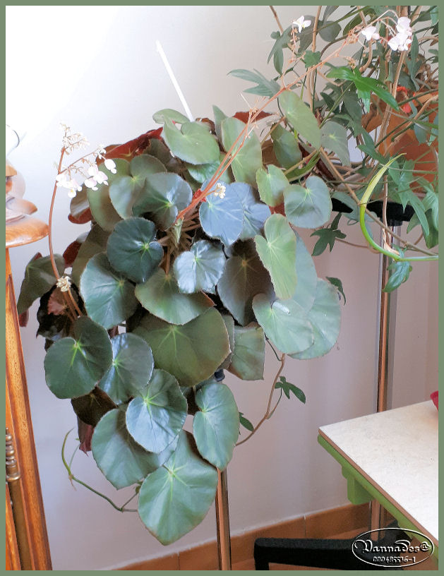 Bégonia Nénuphar ***  Begonia 'Erythrophylla' Bzogon12