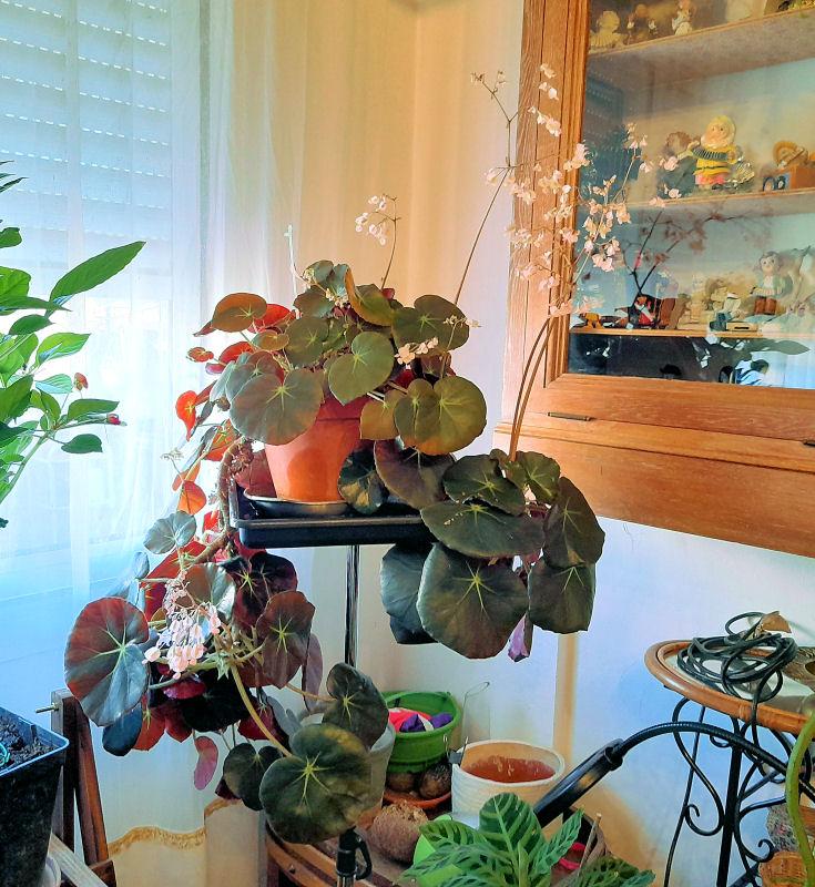 Ma Salle de séjour transformée pour les plantes en Vérandas pff !!! - Page 2 Bzogon16