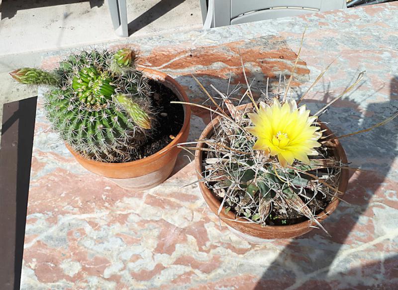 Cactus  Cactus15