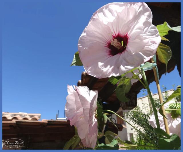 Hibiscus des Marais ou Moscheutos *** - Page 2 Ciel_d12