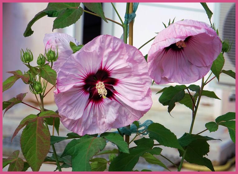 Hibiscus des Marais *** D10