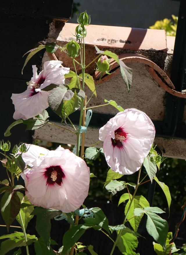 Hibiscus des Marais ou Moscheutos *** - Page 2 Dsc00111