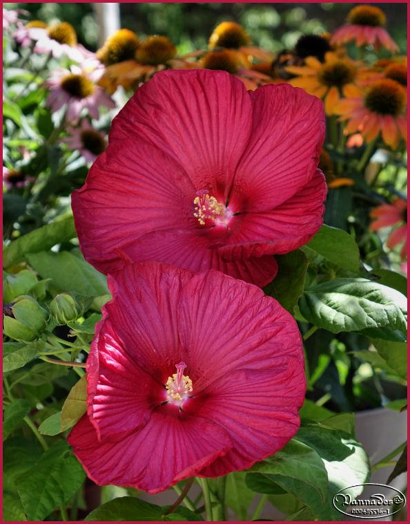 Hibiscus des Marais ou Moscheutos *** - Page 2 Dsc00116