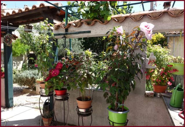 Hibiscus des Marais ou Moscheutos *** - Page 2 Dsc00118