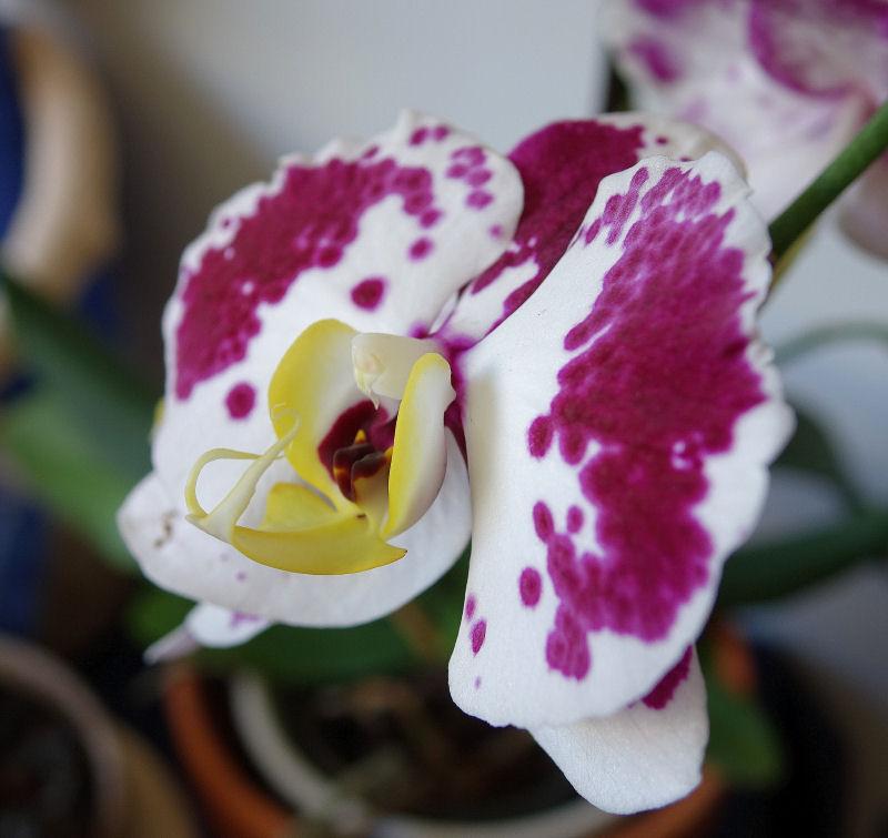 Mes Orchidées Dsc00721