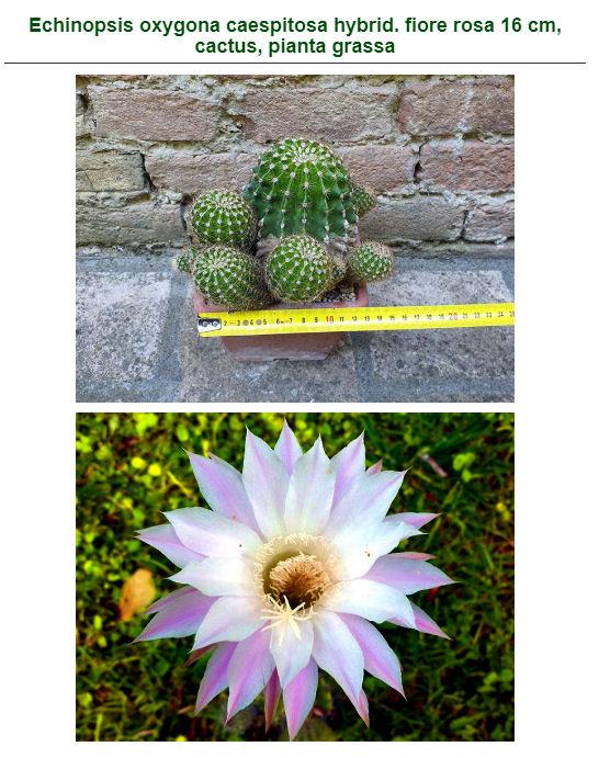 plante Grasse .... - Page 2 Echino10