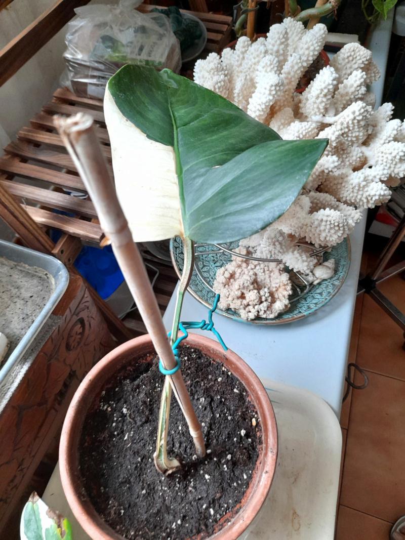 Philodendron Sorcier Blanc Demi Lune Elle_n11
