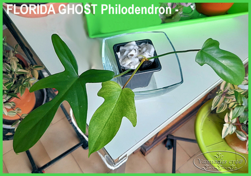 Florida Ghost Philodendron Florid10