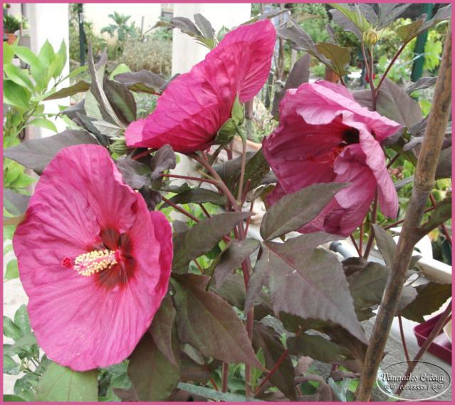 Hibiscus des Marais ou Moscheutos *** Hibisc10