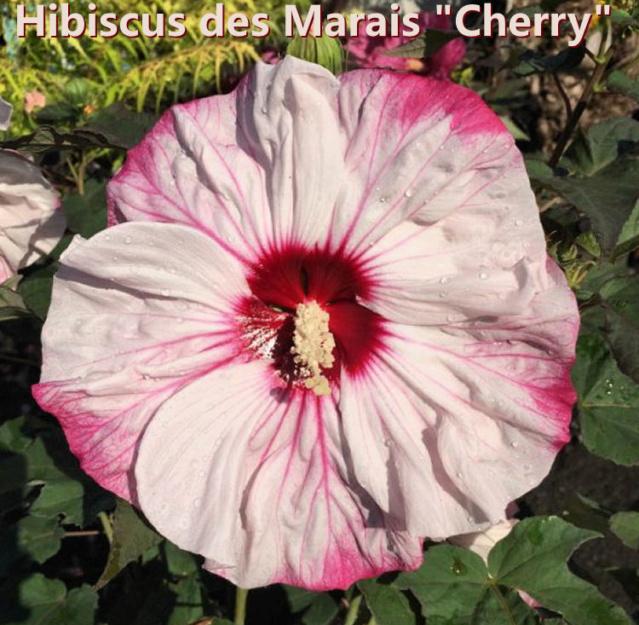 Hibiscus des Marais ou Moscheutos *** Hibisc11
