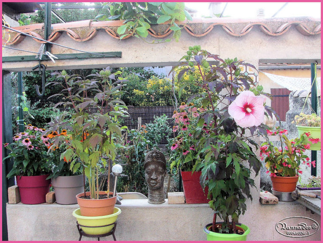 Hibiscus des Marais ou Moscheutos *** Kif_8110