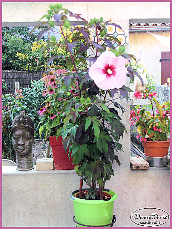 Hibiscus des Marais ou Moscheutos *** Kif_8111