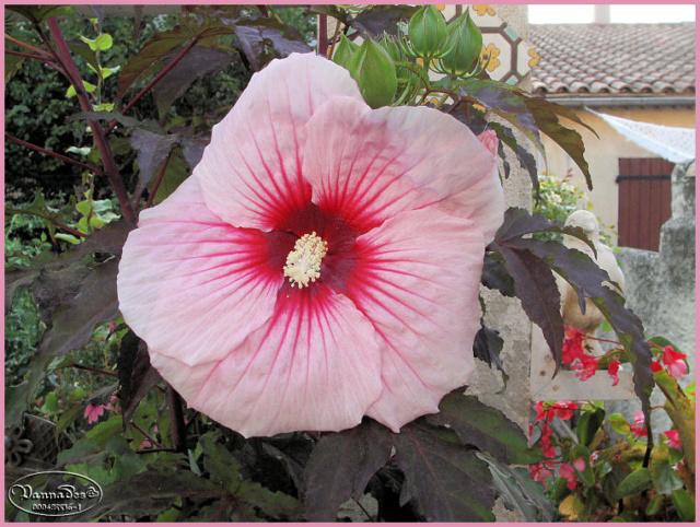 Hibiscus des Marais ou Moscheutos *** Kif_8112