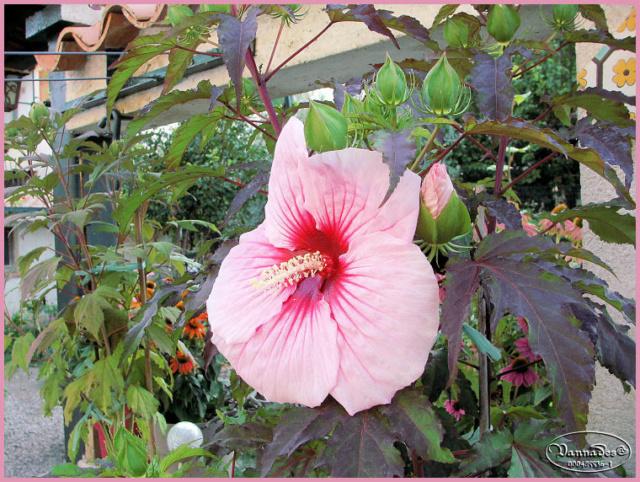 Hibiscus des Marais ou Moscheutos *** - Page 2 Kif_8113