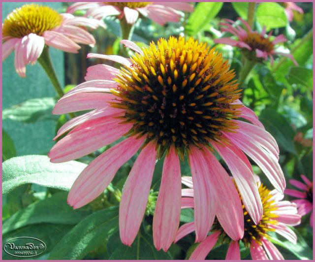 Mes fleurs de mon petit Jardin  - Page 12 Kif_8121