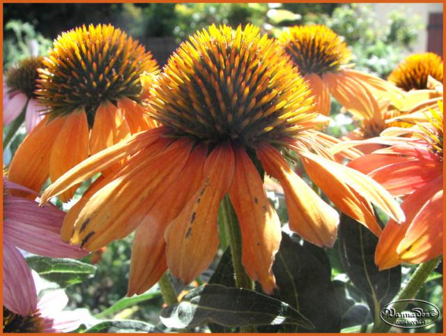 Mes fleurs de mon petit Jardin  - Page 12 Kif_8123