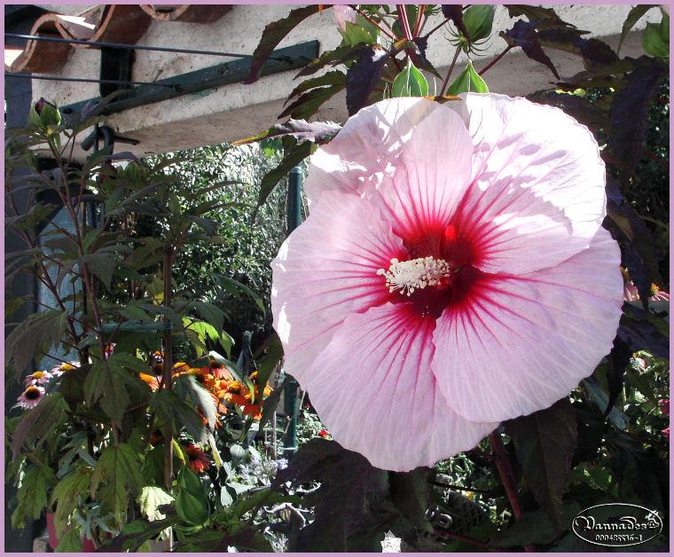 Hibiscus des Marais *** Kif_8125
