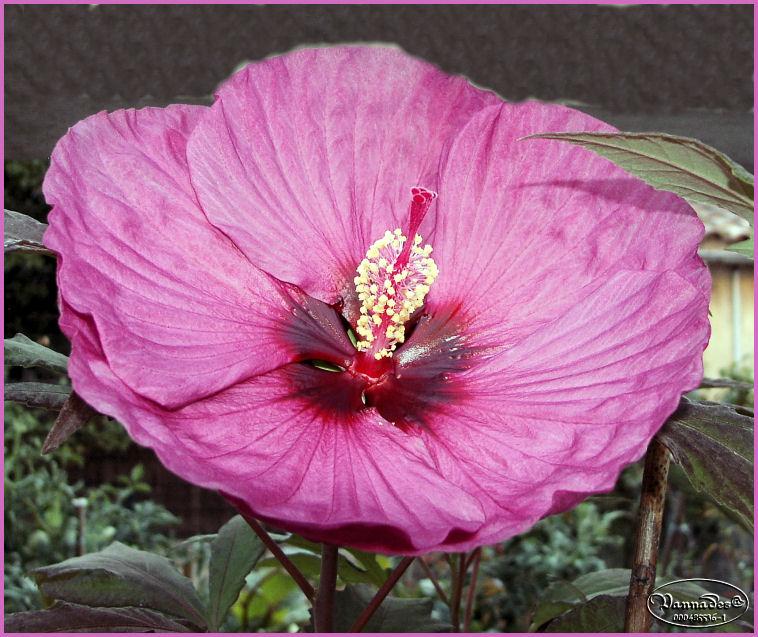 Hibiscus des Marais *** Kif_8211