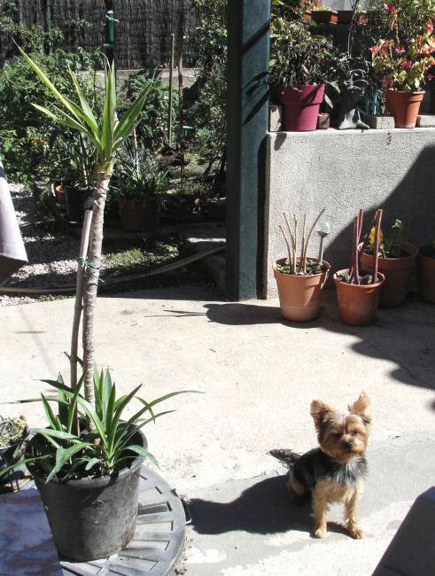 Mon Yucca Chouchou de vannades *** Kif_8212