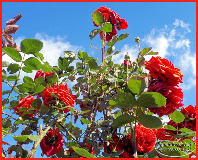 Mes fleurs de mon petit Jardin  Mon_ro10
