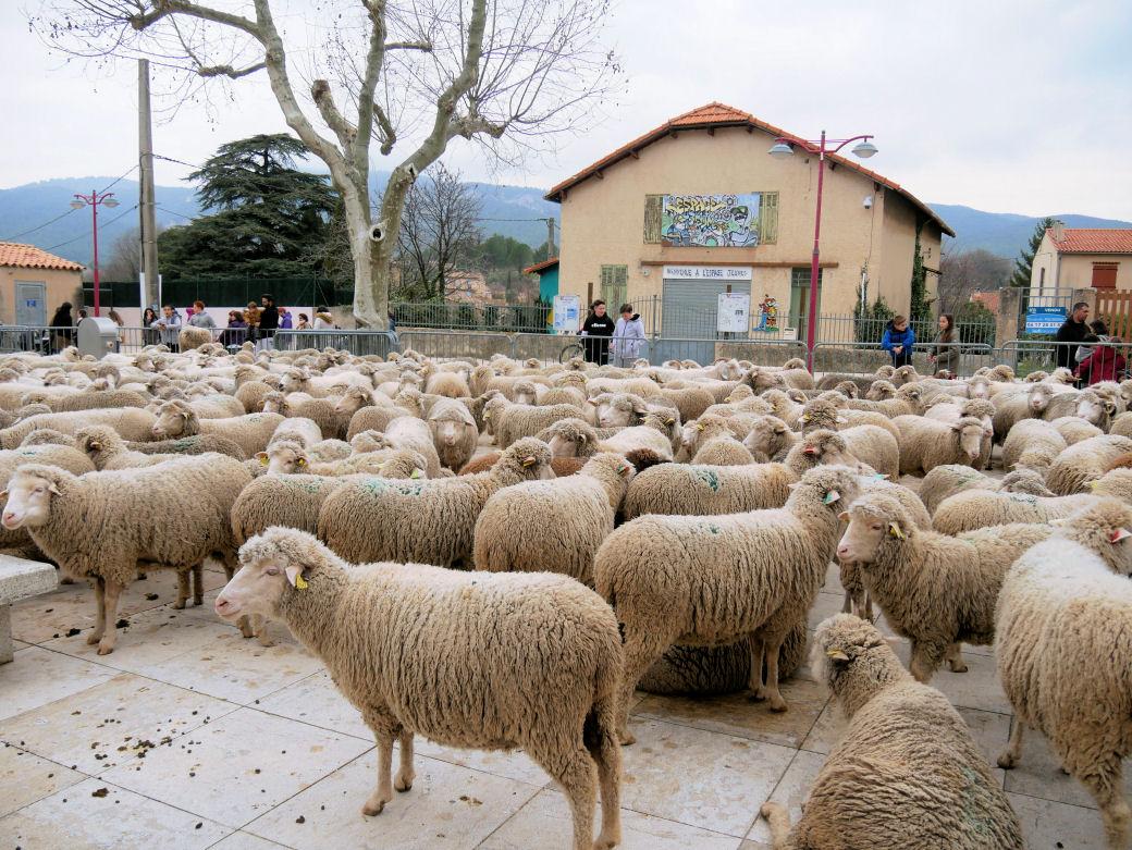 Transhumance au Village ce matin 16 février 2020  Mouton10