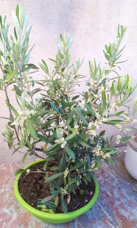 Mes fleurs de mon petit Jardin  - Page 2 Olivie10