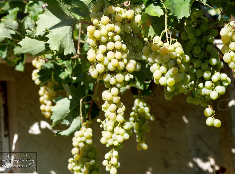 Vigne et raisins du Jardin P1030312