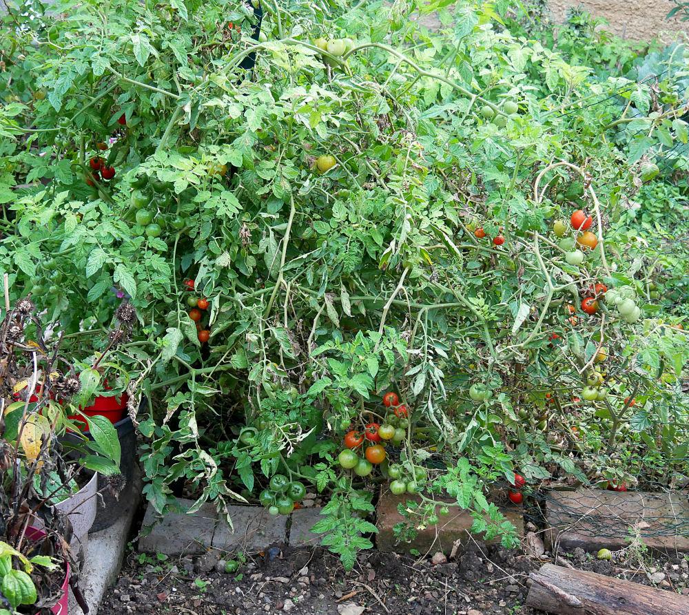 Dernieres fleurs, légumes, etc ... P1050513