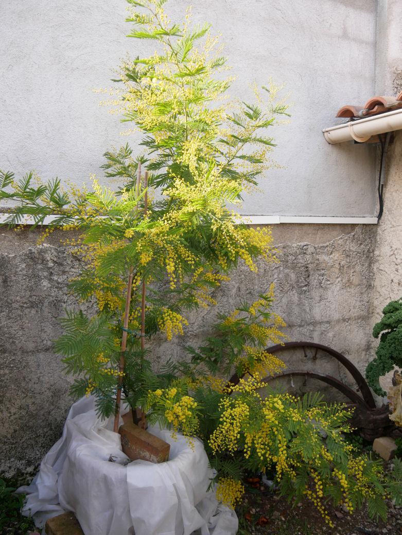 Mimosas du Jardin P1070611