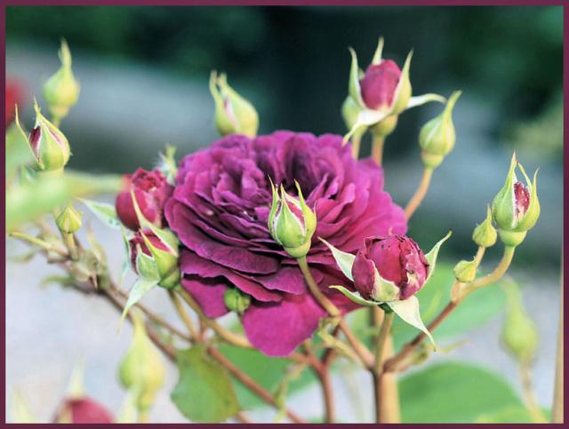 Rosier PURPLE EDEN de mon Jardin P5301511
