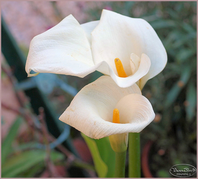 Mes fleurs de mon petit Jardin  - Page 6 P6221710