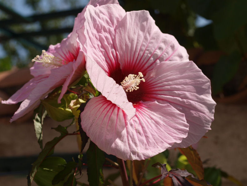 Mes fleurs de mon petit Jardin  - Page 12 P8111810