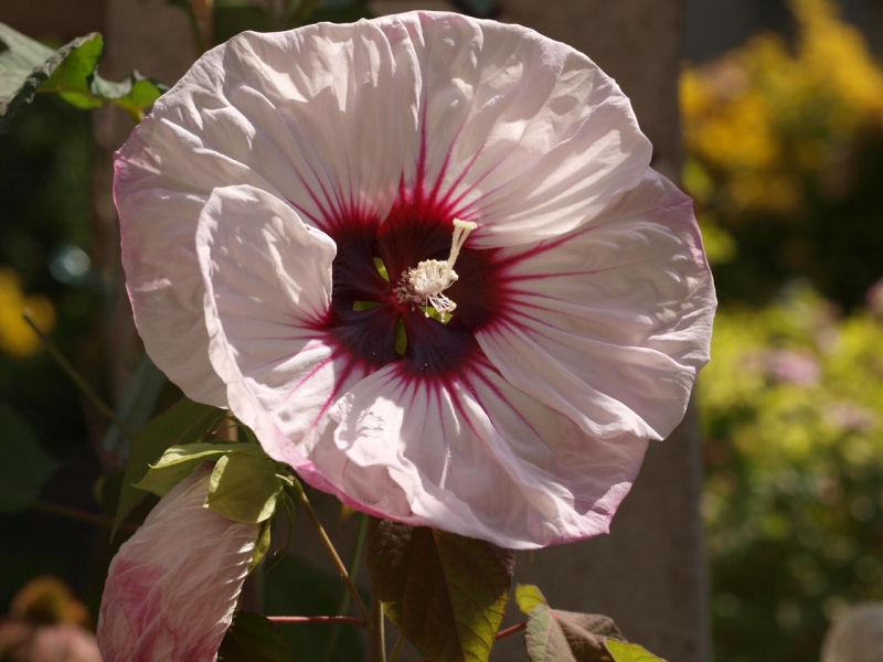 Mes fleurs de mon petit Jardin  - Page 12 P8111811