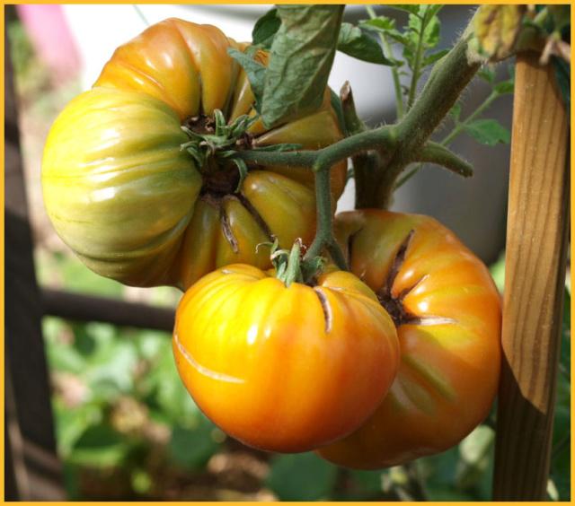 Les tomates que je cultive dans mon petit Jardin *** P8291310