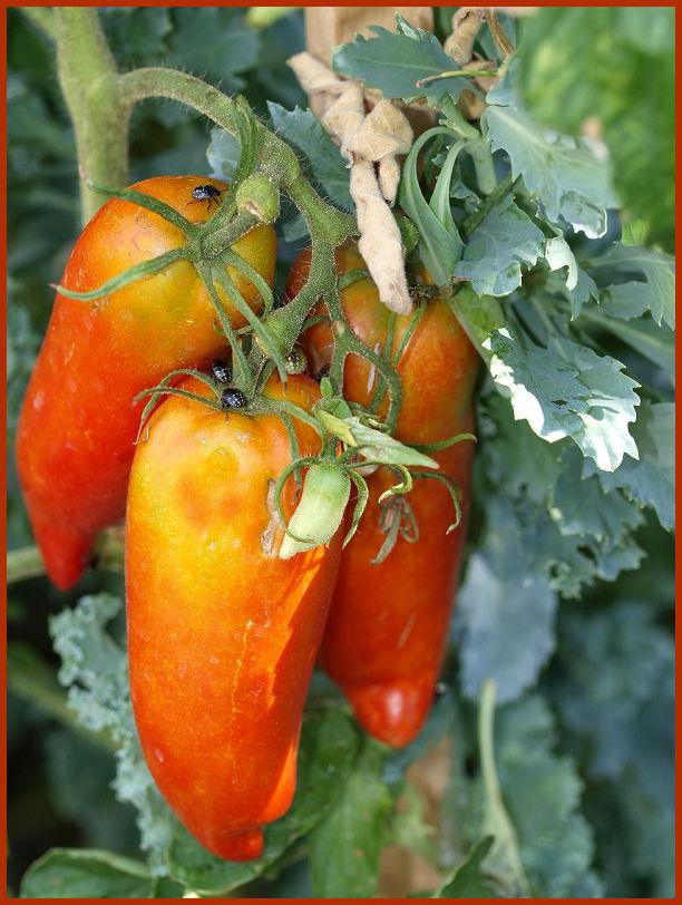 Les tomates que je cultive dans mon petit Jardin *** P8291311