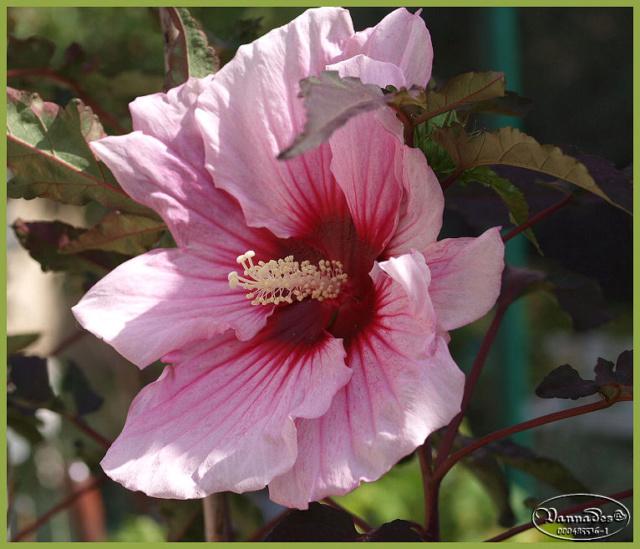 Hibiscus des Marais ou Moscheutos *** P8291312