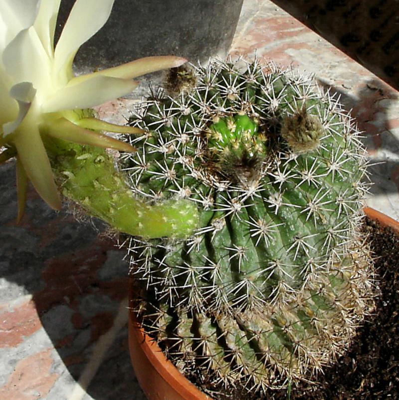 Cactus  Repous10