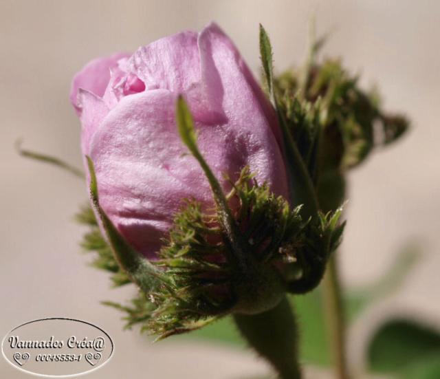 Mes fleurs de mon petit Jardin  Rose_210