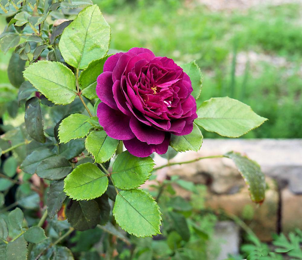 Dernieres fleurs, légumes, etc ... Rose_213