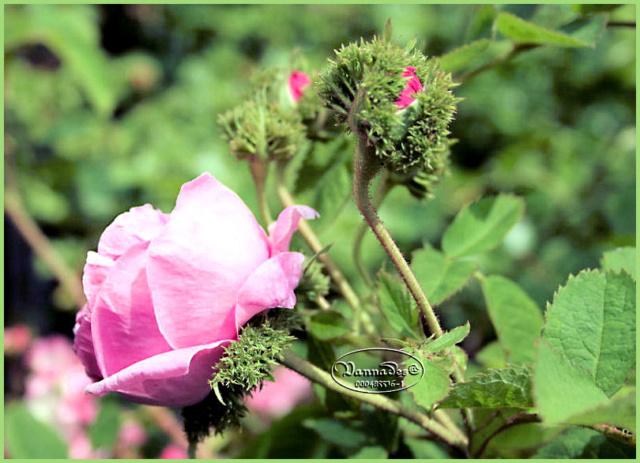 Mes fleurs de mon petit Jardin  Rosier12