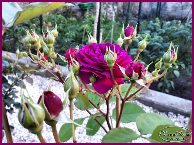 Rosier PURPLE EDEN de mon Jardin Rosier14