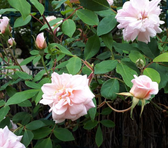 Un rosier que j'adore  Rosier18