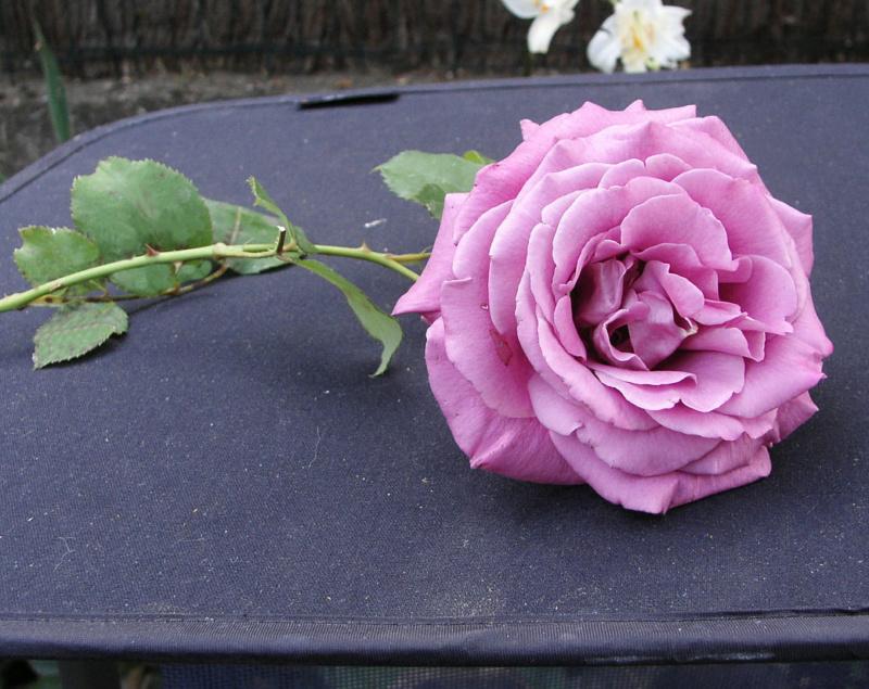 rosier Claude Brasseur Sa_vra12