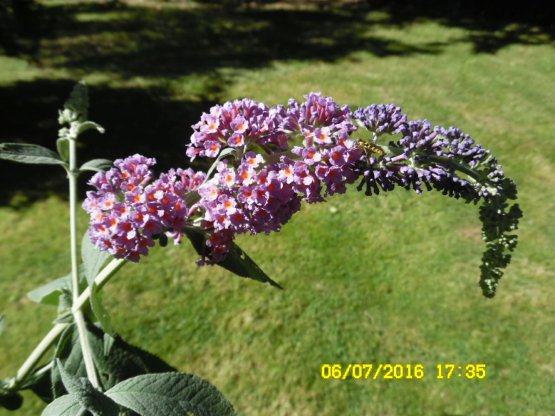 plante a identifier 746..... Résolu    Buddleia x weyeriana ! Sam_0710