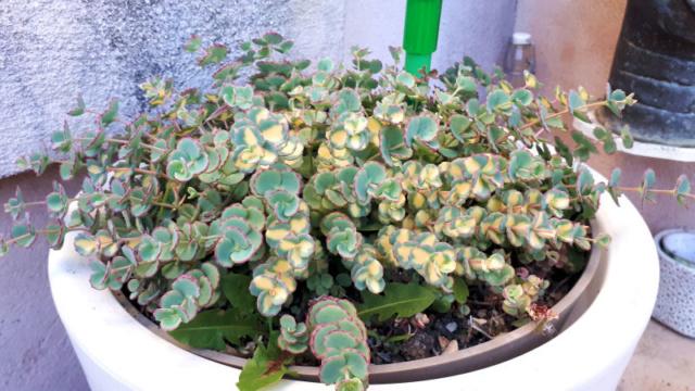 Mes fleurs de mon petit Jardin  - Page 2 Ste_th10