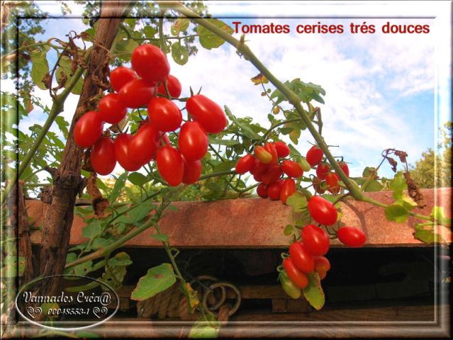Les tomates que je cultive dans mon petit Jardin *** Tomate10