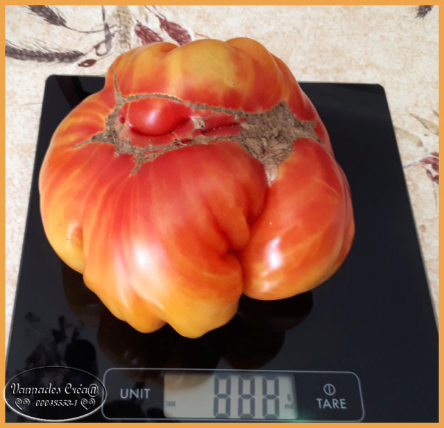 Les tomates que je cultive dans mon petit Jardin *** Tomate11